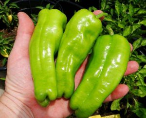 cubanelle-chile-pepper