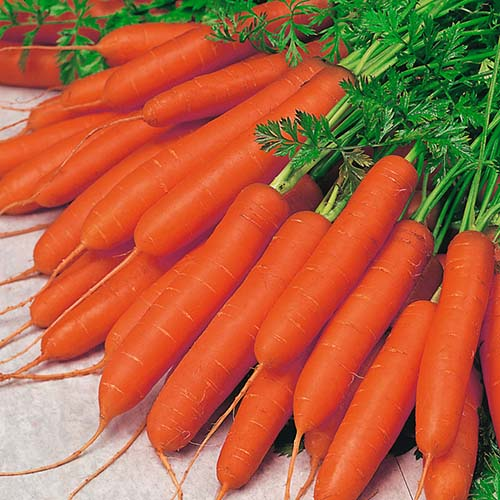 carrot nants