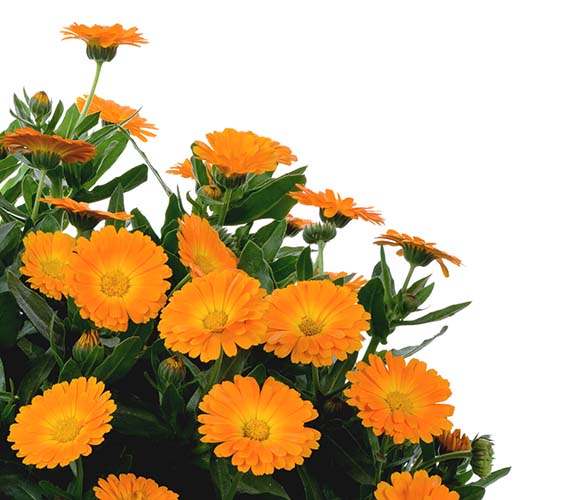 Calendula_Cheers-Orange
