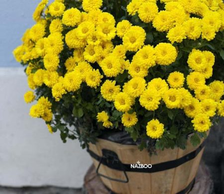 do-you-prune-mums-in-the-fall-word-landscaping-chrysanthemum
