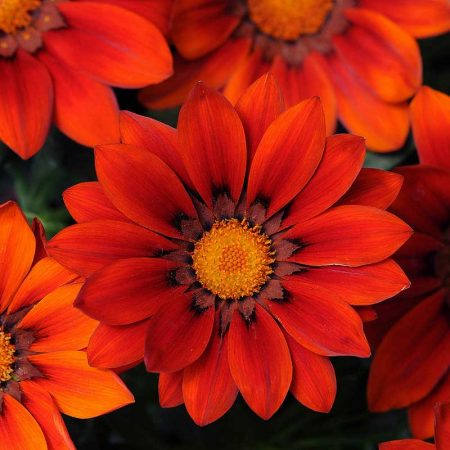 Red-Shades-Gazania