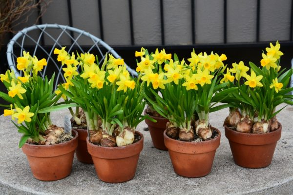 potted trees for patio privacy - Forced pots of miniature daffodils